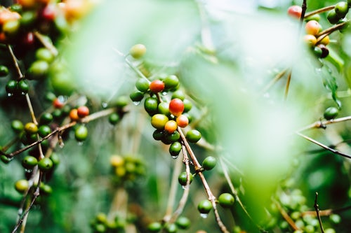 quality coffee beans from costa rica